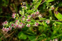 Calico Aster (Symphyotrichum lateriflorum) Flower