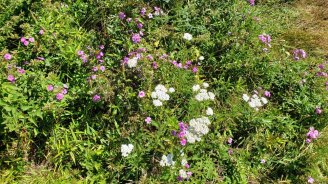 Carolina Phlox & Yarrow Garden