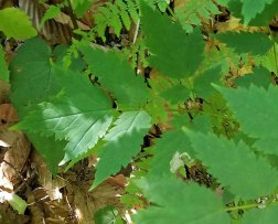 Doll's Eyes (Actaea pachypoda) Leaves