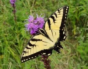 Eastern Tiger Swallowtail on a Dense Blazing Star (Liatris spicata)