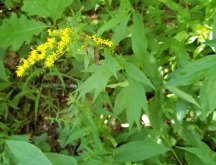 Elm-leaved Goldenrod (Solidago ulmifolia)