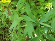 Elm-leaved Goldenrod (Solidago ulmifolia) Leaves