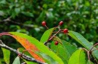 Fire Cherry (Prunus pensylvanica) Fruit