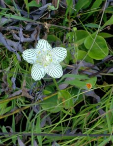 Grass-of-Parnassus (Parnassia asarifolia)