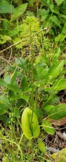 Green Adder's Mouth (Malaxis unifolia) Plant
