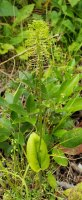 Green Adder's Mouth (Malaxis unifolia) Plant