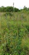 Hairy Bush Pea (Thermopsis villosa)