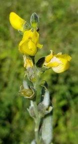 Hairy Bush Pea (Thermopsis villosa) Bloom