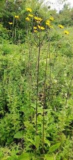 Hairy Wood Sunflower (Helianthus atrorubens) Plant