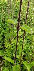Hairy Wood Sunflower (Helianthus atrorubens) Stems & Leaves