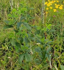 Hairy Bush Pea (Thermopsis villosa) Leaves