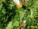 Hedge Bindweed (Calystegia sepium) Leaves