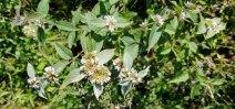 Hoary Mountain Mint (Pycnanthemum incanum)