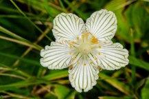 Kidneyleaf Grass-of-Parnassus (Parnassia asarifolia) Flower