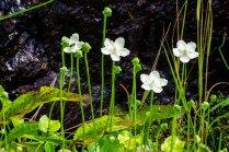 Kidneyleaf Grass-of-Parnassus (Parnassia asarifolia)