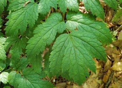 Mountain Bugbane; Late Black Cohosh (Actaea podocarpa) Leaves