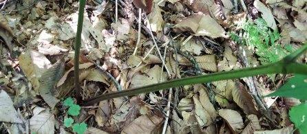 Mountain Bugbane; Late Black Cohosh (Actaea podocarpa) Stem