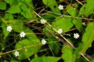 Lesser Stitchwort (Stellaria graminea*) Flower
