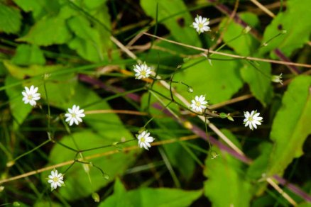 Lesser Stitchwort (Stellaria graminea) Flower