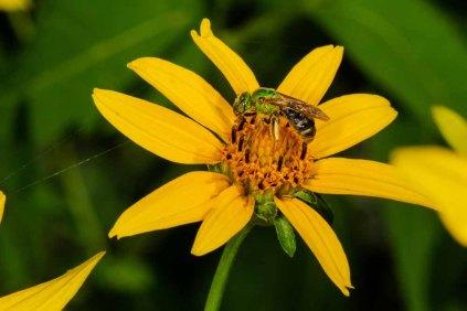 Metallic Green Sweat Bee sp.