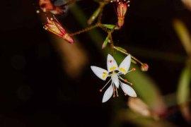 Michaux's Saxifrage (Micranthes petiolaris) Flower