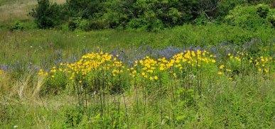 Mixed Bag - Star Tickseed (Coreopsis pubescens), Hairy Wood Sunflower (Helianthus atrorubens), and Hoary Skullcap (Scutellaria incana var. punctata)