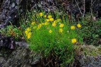 Mountain Cynthia (Krigia montana)