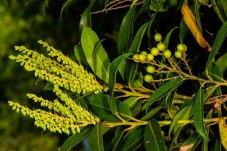 Mountain Fetterbush (Pieris floribunda) Buds & Fruit