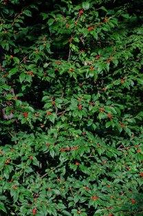 Mountain Holly (Ilex montana)