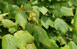 Mountain Maple (Acer spicatum) Fruit