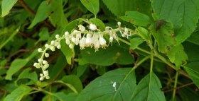 Mountain Sweet Pepperbush (Clethra acuminata)