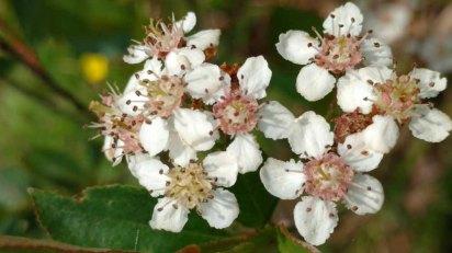 Probably Purple Chokeberry (Aronia X prunifolia) [arbutifolia x melanocarpa hybrid] bloom seen in May