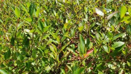 Probably Purple Chokeberry (Aronia X prunifolia) [arbutifolia x melanocarpa hybrid] Fruit
