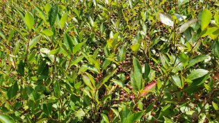 Probably Purple Chokeberry (Aronia X prunifolia) [arbutifolia x melanocarpa hybrid] Fruit