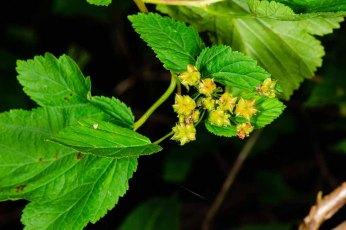 Ninebark (Physocarpus opulifolius) Fruit