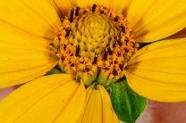 Ox-eye; False Sunflower (Heliopsis helianthoides) Flower