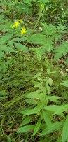 Panicled Hawkweed (Hieracium paniculatum) Plant