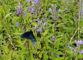 Pipevine Butterfly on a Hoary Skullcap (Scutellaria incana var. punctata)