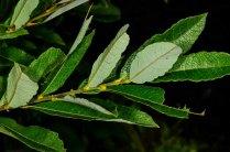 Upland Willow (Salix humilis) Leaves