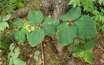 Probably Painted Trillium (Trillium undulatum) Fruit