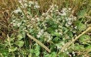 White Wood Aster (Eurybia divaricata)