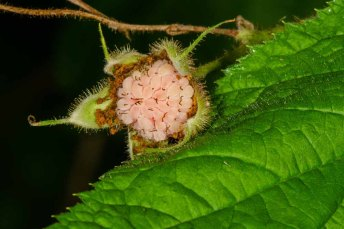 Purple-flowering Raspberry (Rubus odoratus) Fruit