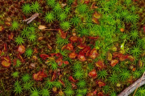 Round-leaved Sundew (Drosera rotundifolia) & Common Haircap Moss (Polytrichum commune)