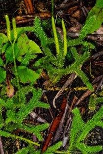 Running Club Moss (Lycopodium clavatum)