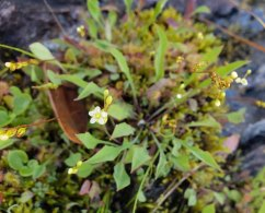 Round-leaved Sundew (Drosera rotundifolia) Bloom
