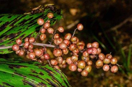 Solomon's Plume (Maianthemum racemosum) Fruit