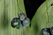 Great Solomon's Seal (Polygonatum biflorum v. commutatum) Fruit