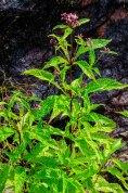 Spotted Joe-Pye-Weed (Eutrochium maculatum)