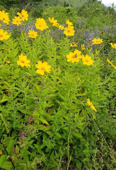 Star Tickseed (Coreopsis pubescens) Plant