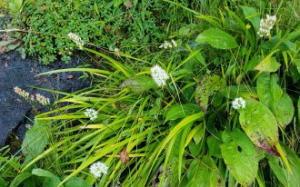 Sticky Asphodel (Triantha glutinosa) Flowers & Fruit